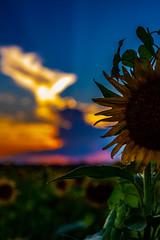 Sunflower (Chris-Creations) Tags: sunflower sunset flower vivid farm summer clouds rays sunray