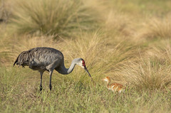 A Lesson in catching grasshoppers (MiriamPoling) Tags: sandhill cranes circle b