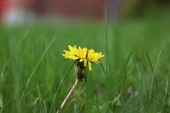 Finally: My Front Lawn (Haytham M.) Tags: grass lush texture details canada ontario season may nature outdoors outdoor plant flower spring lawn