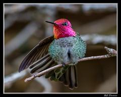 Anna's Hummingbird Framed-100 (billthomas_steel) Tags: annashummingbird calypteanna hummingbirds male hummingbird backyard bird wildlife fraservalley britishcolumbia canada canon eos7dmarkii