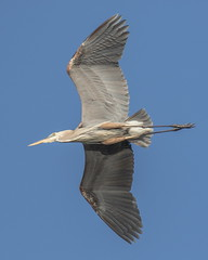 Great Blue Heron Inflight, Overhead Shot (dbadair) Tags: outdoor nature wildlife 7dm2 7d ii ef100400mm canon florida bird