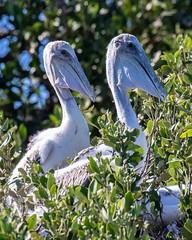 Pair of Brown Pelican Chicks (dbadair) Tags: outdoor nature wildlife 7dm2 7d ii ef100400mm canon florida bird