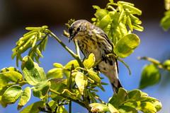 Pine Siskin (dbadair) Tags: outdoor nature wildlife 7dm2 7d ii ef100400mm canon florida bird