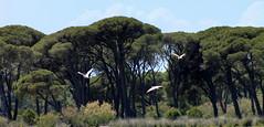 Δασος Στροφυλιας -Wald von Strofilia - Strofilia Forest (ᗰᗩᖇᓰᗩ ☼ Xᕮ∩〇Ụ) Tags: peloponnese peloponnes greece griechenland ελλαδα πελοποννησοσ φυση natur nature wald forest δασοσ προστατευόμενοσβιότοποσ naturereserve naturschutzgebiet ökologie ocology οικολογία περιβαλλον canoneos1100d moments momente green grün birds trees sky earth λιμνοθάλασσαπροκόπου pinetrees kiefern κουκουναριεσ lakeprokopou prokopousee