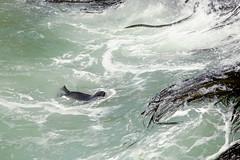 NZ Fur Seal doing it's thing! (Rob Harris Photography) Tags: nz newzealand aotearoa tewaipounamu southisland otago outdoors tourism tourist travelphotography travel wanderlust landscape landscapephotography scenic scenery nature wildlife wild seal furseal