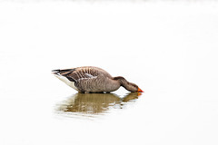 High key goose (microwyred) Tags: slimbridge bird goose nature animal lake wildlife waterbird water feather pond beak white outdoors greylaggoose animalwing animalsinthewild beautyinnature swimminganimal gray high key