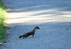 Jolie petite Hermine (Jean-Daniel David) Tags: faune nature animal hermine carnivore sauvage chemin vert verdure forêt sonyrx10m3 yvonand suisse suisseromande vaud