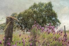 LA CERCA (luiggiaguilar4) Tags: lavanda encina paisajes texturas andalucía