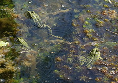 "Teichfrosch (Pelophylax ""esculentus"") (Moanda) Tags: teichfrosch amphibien neobatrachia wasserfrösche"