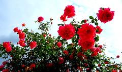IMG_0028x (gzammarchi) Tags: italia paesaggio natura pianura campagna ravenna sanmarco fiore rosa colore rosso