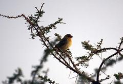 Village weaver, Serengeti, Tanzania (inyathi) Tags: africa eastafrica tanzania africananimals africanwildlife africanbirds birds ploceuscucullatus weavers weaverbirds serengeti
