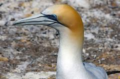 Gannet (Uhlenhorst) Tags: 2010 newzealand neuseeland animals tiere birds vögel travel reisen coth alittlebeauty specanimal coth5