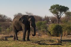 Afrikanischer Elefant / African Bush Elephant (brainstorm1984) Tags: africanbushelephant africansavannaelephant afrikanischerelefant big5 bigfive boteti botetiriver botswana desertdeltasafaris elangeniafricanadventures elefant elephant elephantidae gamedrive leroolatau loxodontaafricana makgadikgadi makgadikgadipansgamereserve makgadikgadipansnationalpark safari sundown wildlife