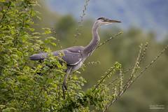 IMG_1004 (gerardtempo) Tags: héron oiseaux échassier nature birds canon 6d