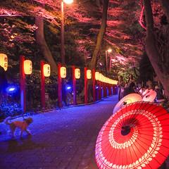 sophisticated Gotenyama (sapphire_rouge) Tags: 桜 夜桜 東京 sakura cherryblossom cherry nightcherryblossom hanami illumination 花見 ngc