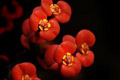 EUPHORBIA MILI (a-r-g-u-s) Tags: euphorbia mili rojo plantas nikon d700 rodagon