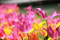 Tulipani (Luciana.Luciana) Tags: tulipani rosa magenta fioriprimavera fiori primavera spring frühling printemps natura flora floreale giallo fruehling εαρινό الربيع 春天 वसंत