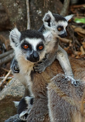 A Mãe, lémur (Vitor Estrela Santos) Tags: vitormes vitorestrelasantos madagascar africa lémuredecaudaanelada lemurcatta fantasma espírito beautifulnature beautifulworld beautifulpeople lemur lemure