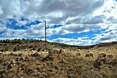 the sheep........ (atsjebosma) Tags: sheep schapen weiland clouds wolken sky landschap landscape cuenca spain spanje 2019 trees bomen atsjebosma stones stenen coth5 ngc