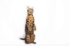 banou mai19 stehend (mwo_w_GERMANY) Tags: mario wolff mwopicscom mwoaqwode aqwocom banou bengal chat chatelou chatélou chaton cat stands stand standing cute brown spotted black schwarz
