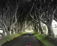 The Dark hedges (Photographs and Images of Northern Ireland) Tags: sunset sunrise northern ireland ulster county red hand orange views scenic waterfalls rivers golf courses fishing giants causeway tourists travel belfast derry londonderry brexit border antrim castle park walks tollymore forest
