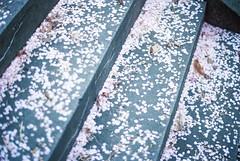 桜 (alinak4) Tags: 35mm 35mmphoto 35mmfilm 35mmphotography 35мм filmphotography filmcamera filmphoto film analoguephotography analoguecamera analogue kodak kodakultramax400 ultramax400 ultramax contaxaria contax aria carlzeiss carlzeissplanar14 planar zeiss nature naturelover natureaddict sakura cherryblossom flowers petals spring april memory melancholy stairs concrete streetshot streetview streetsnap streetphotography フィルム写真 フィルム フィルムカメラ さくら 桜 春 韓国 コンタックス アリア пленка аналоговаяфотография вишня корея 성남 팔름 필름감성 필름카메라 필름사진 필카 봄 벚꽃 seoul southkorea korea