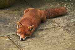 The Living Is Easy (Deepgreen2009) Tags: fox vixen wildlife animal patio home garden mammal relaxed tame lying canine