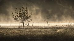 Marshland Ghosts (Bertrand Thiéfaine) Tags: marais ancenis loireatlantique or leverdujour brume marsh gold faune flore héron zone humide décrue fantômes ambiance matin arbre ruisseau maraisdegrée paysdelaloire