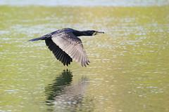 IMG_0978cw (Marco Scrofani) Tags: cormorano cormorant