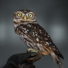 Joschi (FocusPocus Photography) Tags: joschi steinkauz littleowl eule owl kauz vogel bird tier animal garudafalknerei