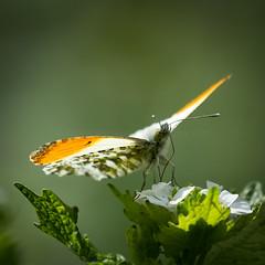 Orangetip (robvanderwaal) Tags: robvanderwaalphotographycom natuur netherlands butterfly orangetip vlinder macro closeup oranjetipje nature 2019 nederland witjes
