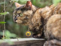 GFX50S__DSF4103_C1 (Bazoka+Cynthia) Tags: cat lori 小婆 新北市 猴硐 瑞芳區 貓 阿偉