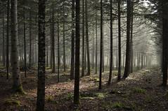 Dark wood2 (Franck gallery) Tags: nature woods forêt forest dark color pins naturallight lumièrenaturelle green vert d90 35mm