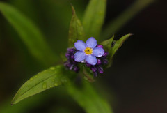 Don't Forget (Diane Marshman) Tags: forget me wildflower small tiny blue purple petals orange center native perennial spring summer blooming blooms blossoms macro closeup pa pennsylvania nature plant green leaves forgetmenot not