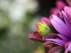CAPULLO DE MARGARITA. (franciscomartnez244) Tags: mark ii zuiko pro olympus 40150 margarita capullo desenfoque flor
