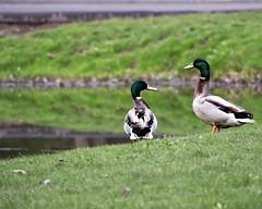 (G.A.P.1959) Tags: duck ducks mallard forestpark springfield massachusetts pioneervalley lakes ponds waddles fowl waterfowl birds mates buddies