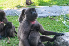 Gelada Baboons (PMillera4) Tags: gelada baboons baboon bronxzoo primate