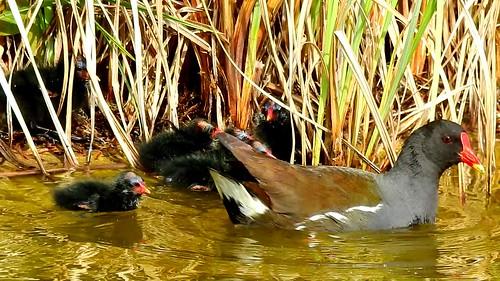 AP0402.DSCN0317.06 oiseau aquatique 25 (poule d'eau poussin lac nourrit) Pref