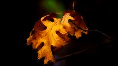 'Leftovers' (Bob's Digital Eye 2) Tags: bobsdigitaleye2 canonefs55250mmf456isstm macro leaves softfocus autumnleaves autumncolour autumn abstract flickr flicker depthoffield may2019