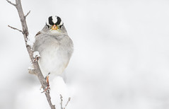 White-crowned Sparrow (Zonotrichia leucophrys) (Wildlife, Landscape & Cultural) Tags: whitecrowned sparrow zonotrichia leucophrys