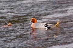 Redchest (Mygii) Tags: finland mikkeli bird mareca penelope wigeon haapana