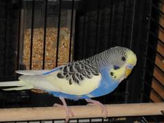 Niki (✿ Esfira ✿) Tags: wellensittich budgerigar budgie parakeet niki