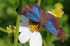 Shocking Blue (peterkelly) Tags: digital canon 6d northamerica gadventures mayandiscovery mexico chiapas palenquenationalpark palenque butterfly flower blue brilliantblueskipper pachesloxus