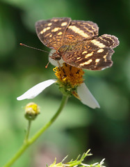 Orange-Patched Crescent (peterkelly) Tags: digital canon 6d northamerica gadventures mayandiscovery mexico chiapas palenquenationalpark palenque butterfly flower orangepatchedcrescent anthanassadrusilla