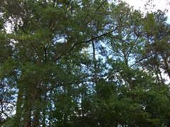 Tree Foliage. (dccradio) Tags: lumberton nc northcarolina robesoncounty park citypark northeastpark penningtonathleticcomplex raymondbpenningtonathleticcomplex sky tree trees clouds foliage greenery nature natural branch treebranch branches treebranches treelimb treelimbs bluesky fuji finepix jv100 may sunday weekend afternoon sundayafternoon goodafternoon