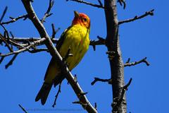 Western_Tanager_11 (DonBantumPhotography.com) Tags: wildlife nature animals birds westerntanager yellowbird blueskies tree yellowbirdwithredhead donbantumphotographycom donbantumcom
