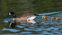 mom and chicksb (tesseract33) Tags: nikon light travel wildlife birds coastalbirds canadageese chicks penderharbour nikond750 d750 momandbabies peterlang comox comoxphotographer