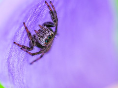 In the flower (dayonkaede) Tags: insect spider nature flower purple light black olympus em1markii m30mm f35 macro