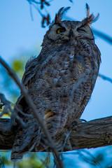 I see you (Daren Grilley) Tags: tamron 150600 d850 nikon raptors raptor owls