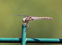 Libellule_001 (Ragnarok31) Tags: animal animaux insecte libellule nature faune
